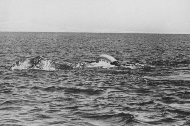 Mating gray whales Picture