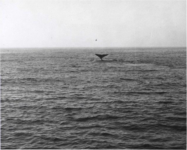 Gray whale flukes thrown high on deep