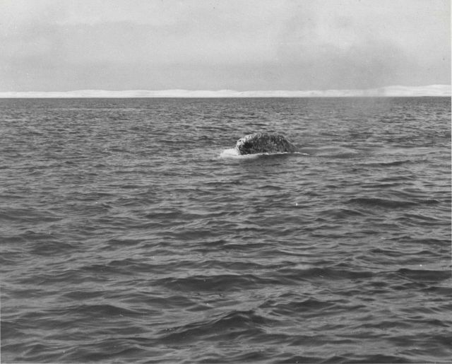 Gray whale rising low out of water to look-see Picture