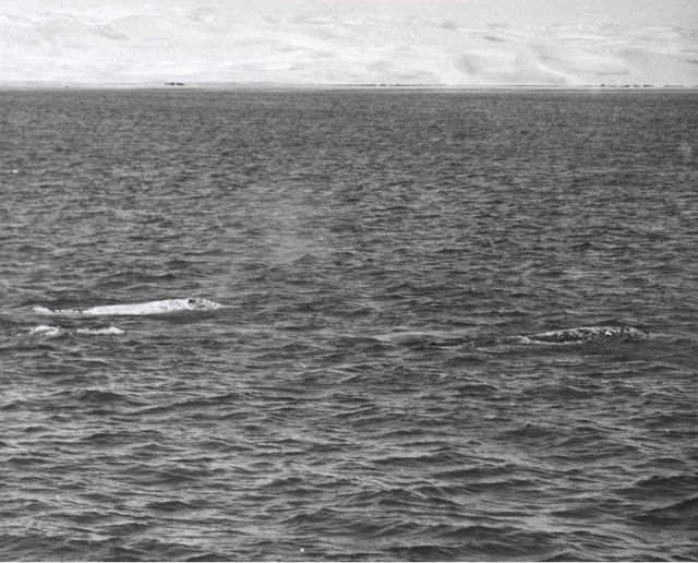 Three adult gray whales, probably two males and one female, meandering along in social group preparatory to mating activities. Picture