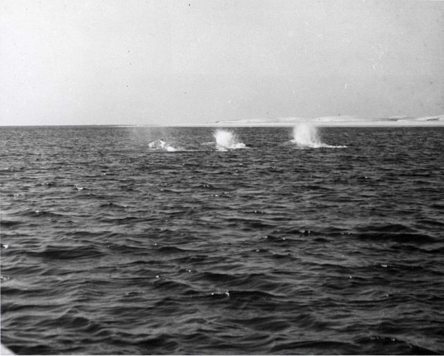 Three adult gray whales, probably two males and one female, plunging along at about ten knots being pursued by observers in row boat. Picture