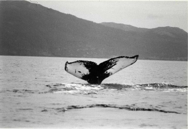 Humpback whale flukes Picture