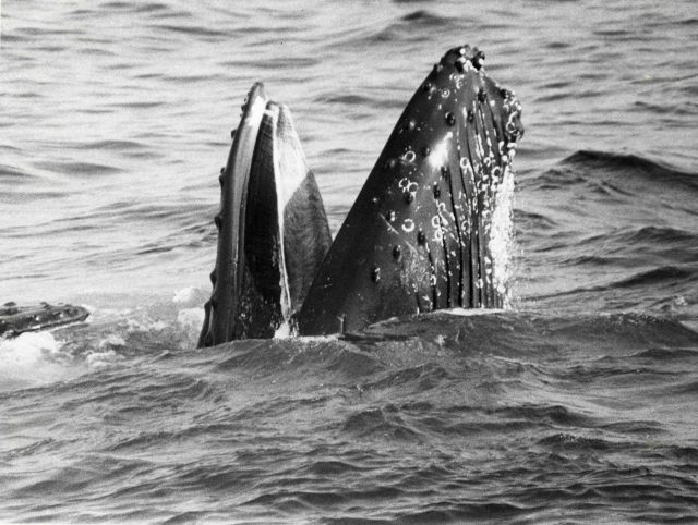 Feeding humpback whales lunge through schools of sand lance with mouths agape, trapping their prey at the surface. Picture