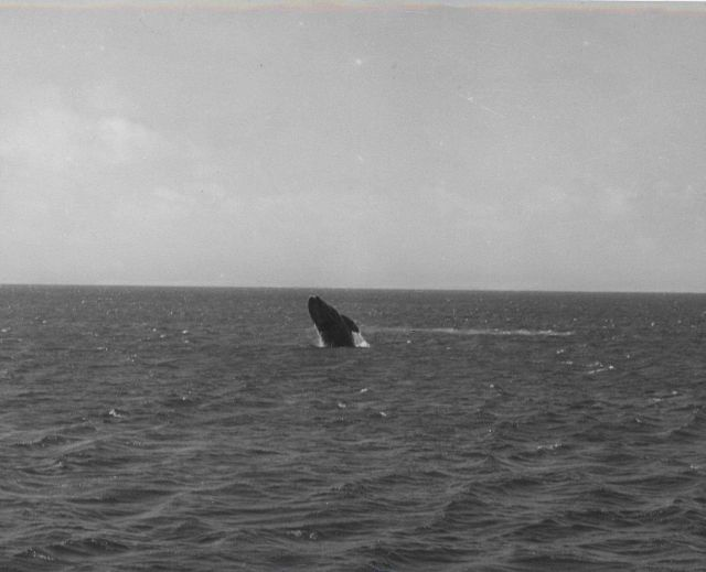 Gray whale breaching Picture