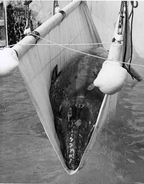 The first step in returning Gigi, the rescued gray whale calf, to the sea from its tank at Sea World San Diego. Picture