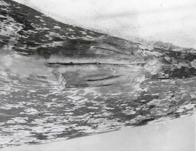 Genital area of gray whale showing mammary grooves typical of the female. Picture