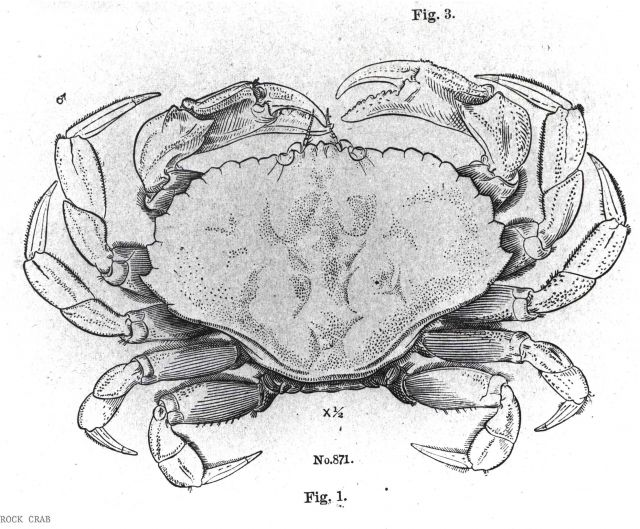 Drawing of rock crab (Cancer irroratus) Picture