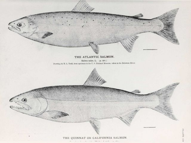 Drawings of Atlantic salmon (Salmo salar) and the Quinnat or California salmon Picture