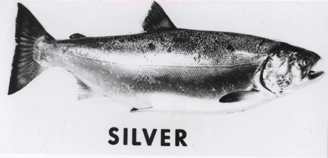 Silver salmon Picture