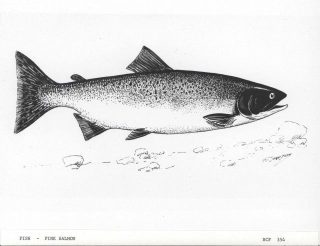 Art - pink salmon by G Picture