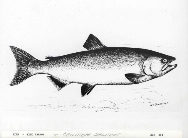 King salmon or chinook salmon drawn by G Picture