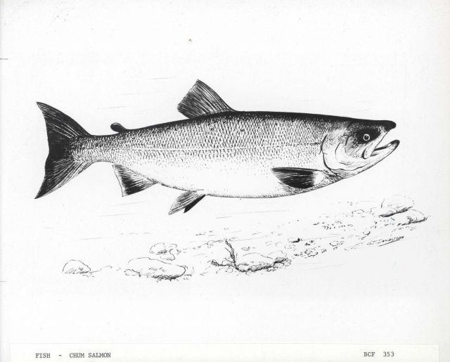Art - Chum salmon (G Picture