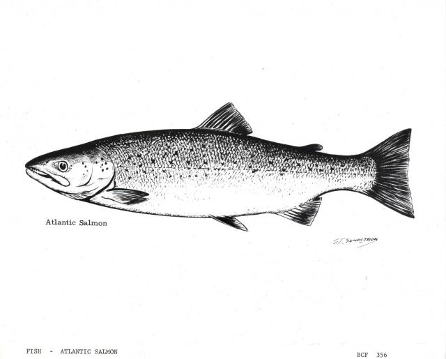 Atlantic salmon - artwork by G Picture