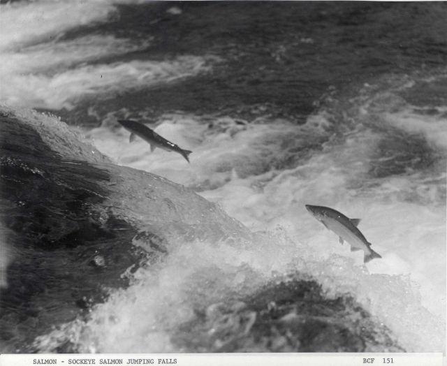 Sockeye salmon leaping falls Picture