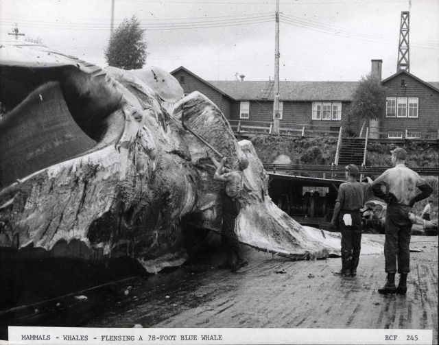 Flensing a 78-foot long blue whale Picture