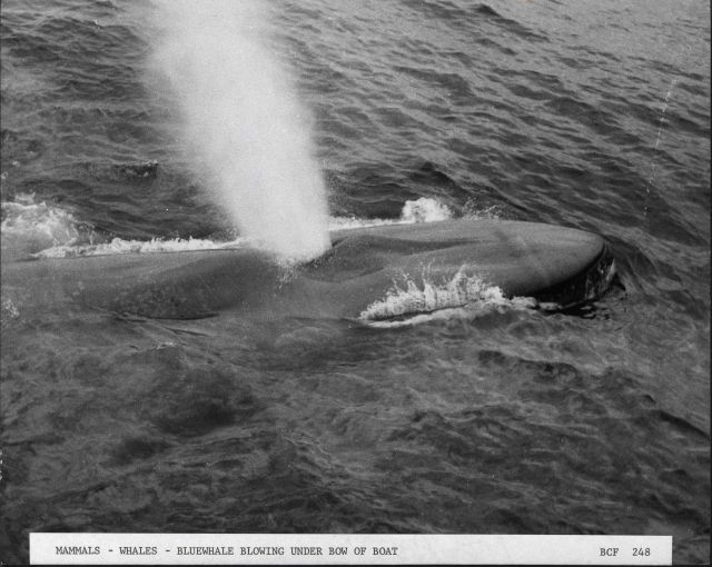 Blue whale blowing under bow of catcher boat Picture