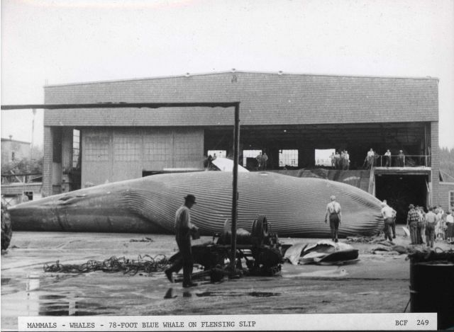 78-foot female blue whale on flensing slip. Picture