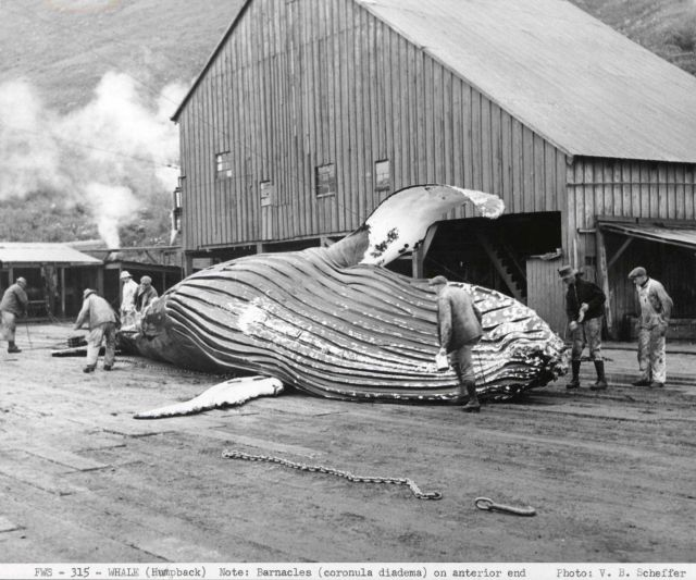 Humpback whale (Megaptera novae angliae), 37-foot female being readied for flensing Picture