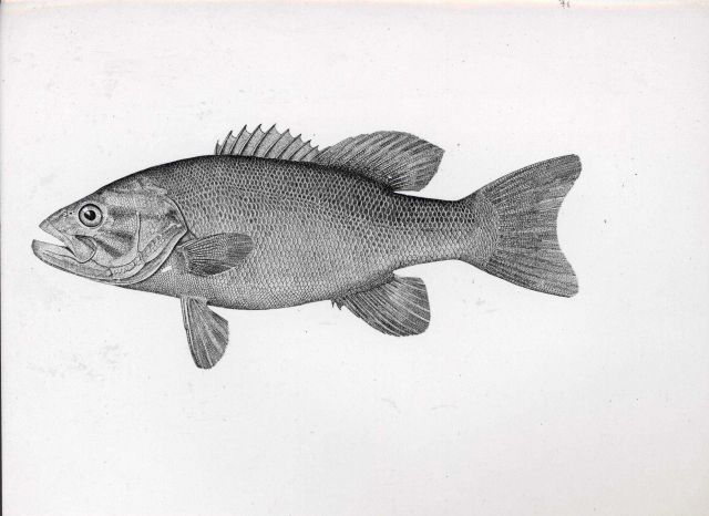 Drawing of bass Picture