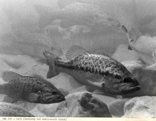 Kentucky and small-mouth bass Picture
