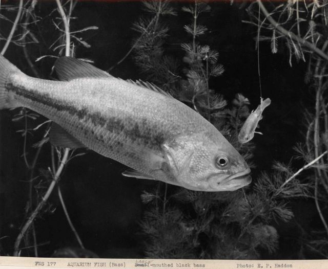 Large-mouthed black bass in aquarium Picture