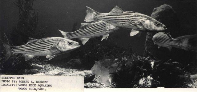 Striped bass in aquarium Picture