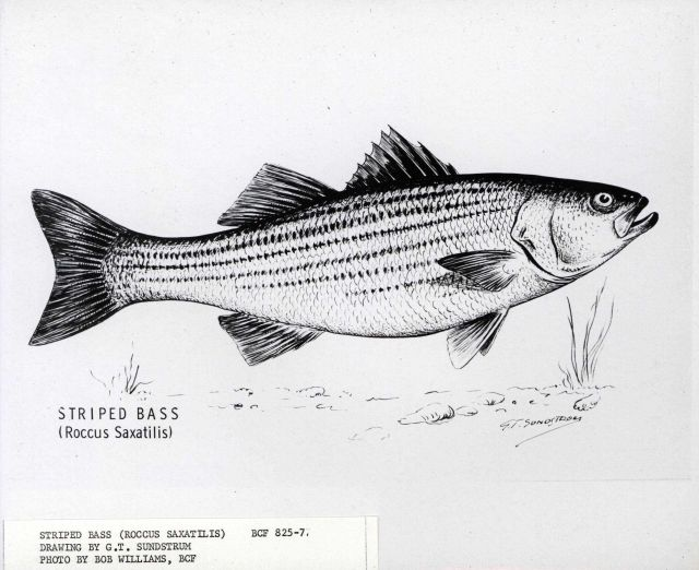 Striped bass (Roccus saxatilis) drawn by G.T Picture