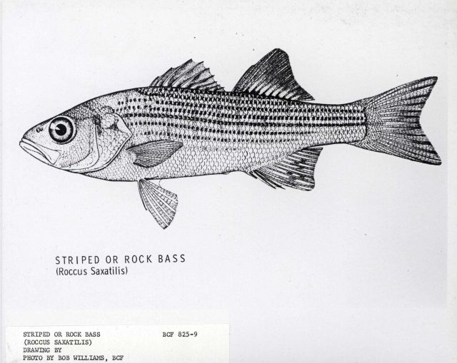 Striped or rock bass (Roccus saxatilis) Picture