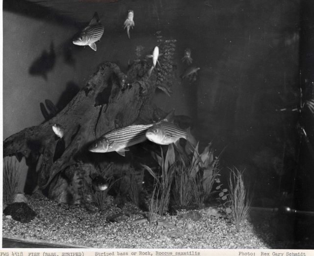 Striped or rock bass (Roccus saxatilis) - Beautiful fishes swimming Picture