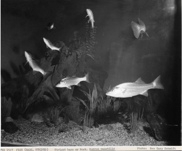 Striped bass or Rock Bass (Roccus saxatilis) Picture