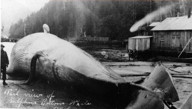 Tail view of blue whale or sulphur-bottom whale on flensing deck. Picture