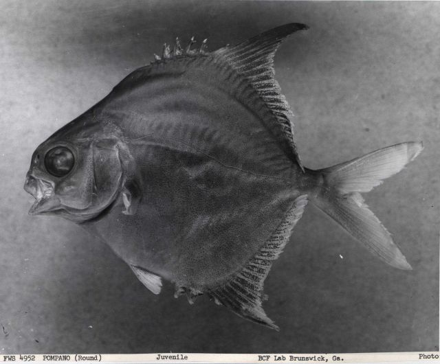 Juvenile round pompano (Trachinotus falcatus), 5.95 cm standard length. Picture