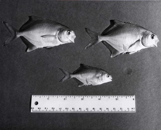 Young pompano (Trachinotus carolinus) used in fish farming experiment at Fort De Soto Park. Picture