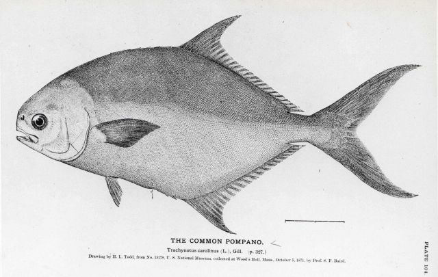 Drawing of the common pompano (Trachynotus carolinus) by H Picture