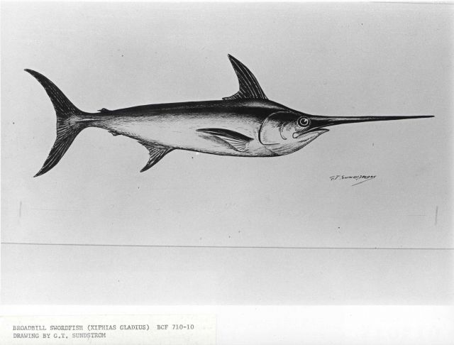 Broadbill swordfish (Xiphias gladius) Picture