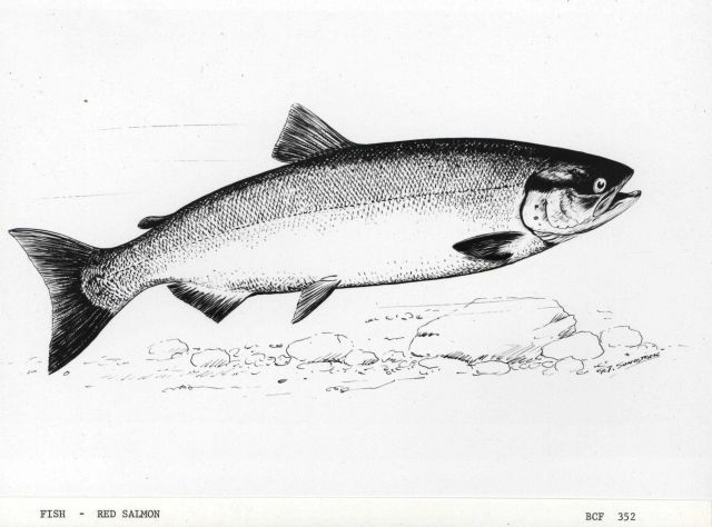 Drawing of red salmon by G Picture