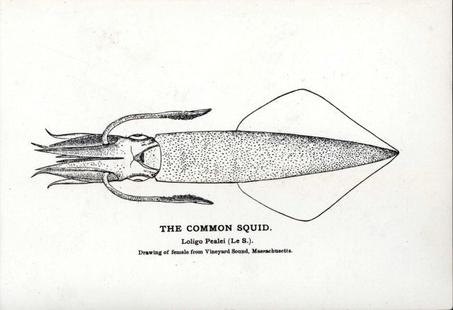 Drawing of common squid (Loligo pealei) Picture