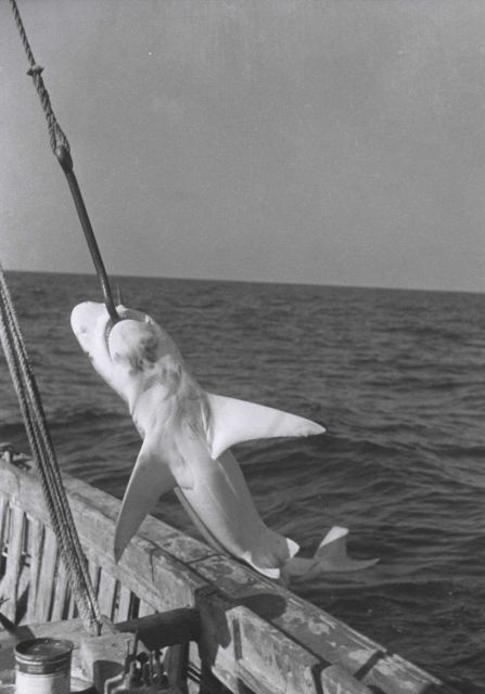 Landing a sandbar shark from a commercial shark fishing line Picture