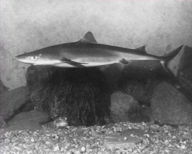 Dogfish in aquarium tank. Picture