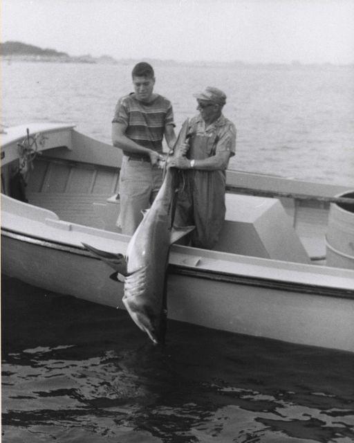 Mackerel shark. Picture