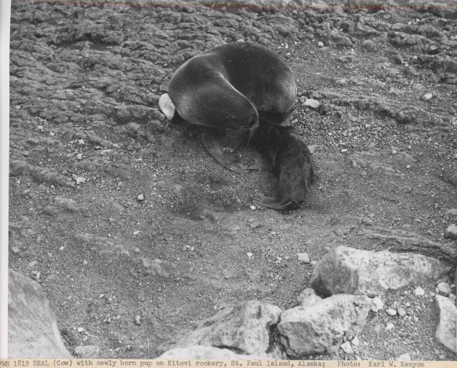 Fur seal cow with newly born pup at Kitovi Rookery Picture