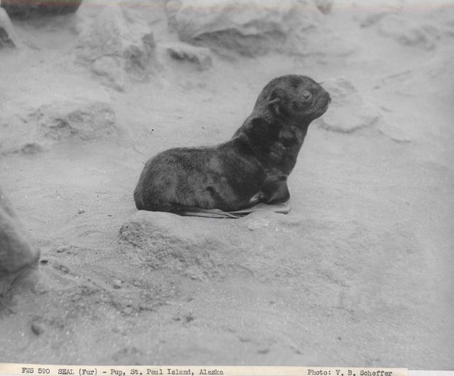 Fur seal pup Picture