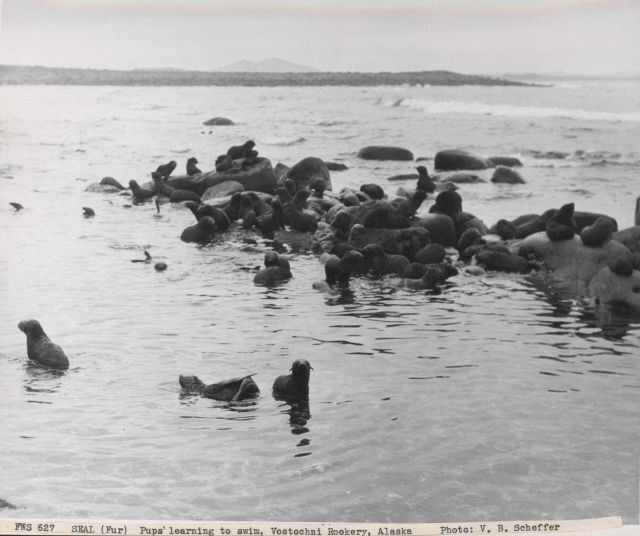 Fur seal pups learning to swim at Vostochnoi Rookery Picture