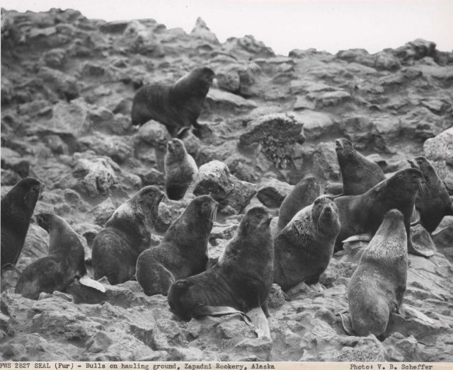 Fur seal bulls on the hauling ground Picture