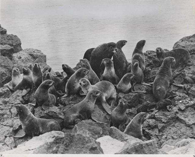 Fur seal harem Picture