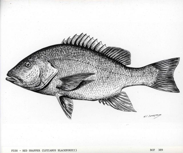 Drawing of red snapper (Lutjanus blackfordii) drawn by G Picture