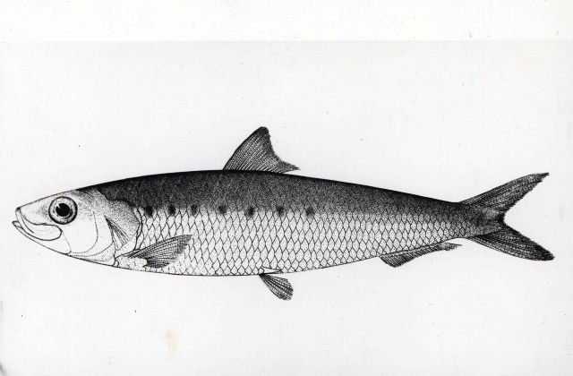 Drawing of a California sardine (Sardinia caerulea) Picture