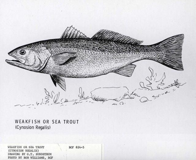 Drawing of weakfish or seatrout ((Cynosion regalis) by G Picture