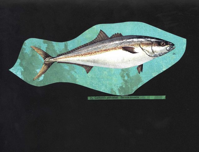California yellowtail (Seriola dorsalis) Picture