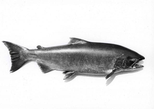 Chinook salmon (Onchorhynchus tshawytscha) Picture